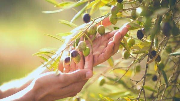 Olivicultura innovazione di prodotto e di processo - Corso Gratuito Finanziato Dalla Misura 1.1.1 In Campania